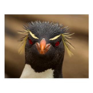 Rockhopper penguin portrait postcard