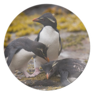 Rockhopper penguins communicate with each other dinner plate