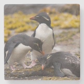 Rockhopper penguins communicate with each other stone coaster