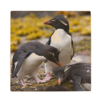 Rockhopper penguins communicate with each other wood coaster