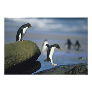 Rockhopper Penguins, Eudyptes chrysocome), Photo Print