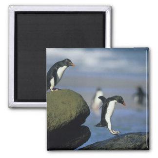 Rockhopper Penguins, Eudyptes chrysocome), Square Magnet