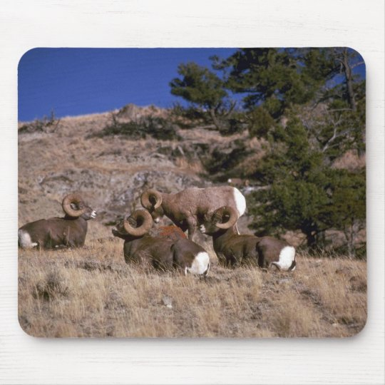 Rocky mountain bighorn sheep (band of bachelor ram mouse mat