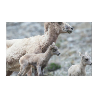Rocky Mountain Bighorn Sheep, ewe Canvas Print