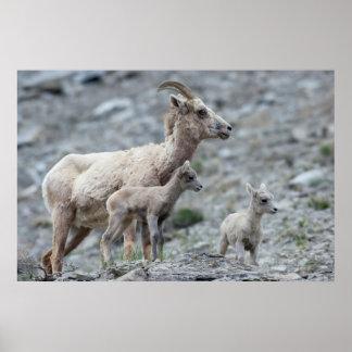 Rocky Mountain Bighorn Sheep, ewe Poster