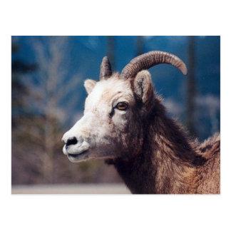 Rocky Mountain Bighorn Sheep Post Card