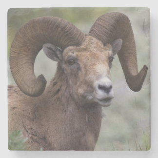 Rocky Mountain Bighorn Sheep Ram 1 Stone Coaster