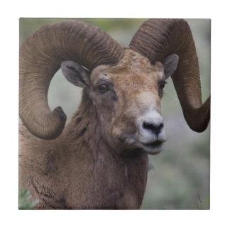 Rocky Mountain Bighorn Sheep Ram 1 Tile