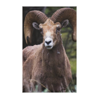 Rocky Mountain Bighorn Sheep Ram 2 Canvas Print
