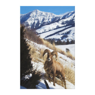 Rocky Mountain Bighorn Sheep Ram 3 Canvas Print