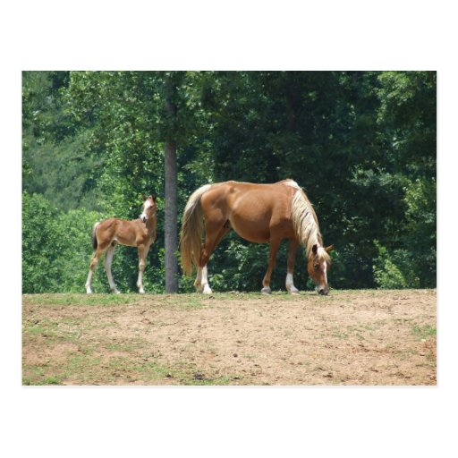 Rocky Mountain mare and colt Post Cards