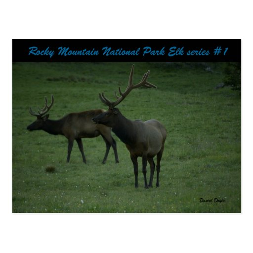 Rocky Mountain National Park Elk series #1 Postcard