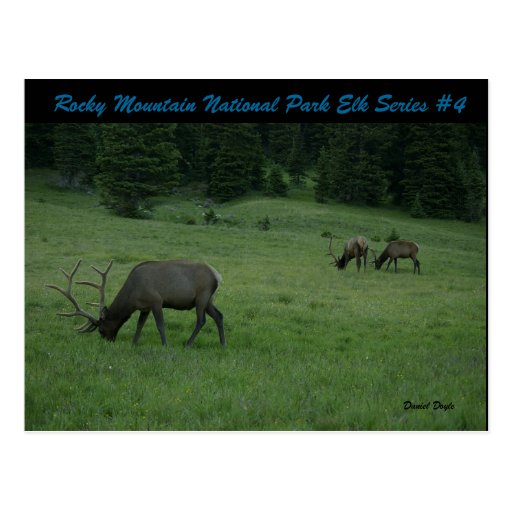Rocky Mountain National Park Elk Series #4 Post Card