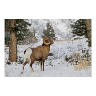 Rocky Mountains, Wyoming. Bighorn sheep Poster