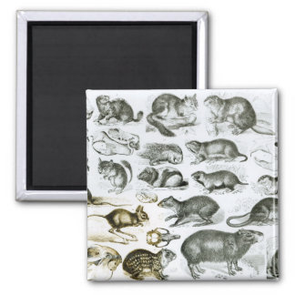 Rodentia-Rodents or Gnawing Animals Magnet