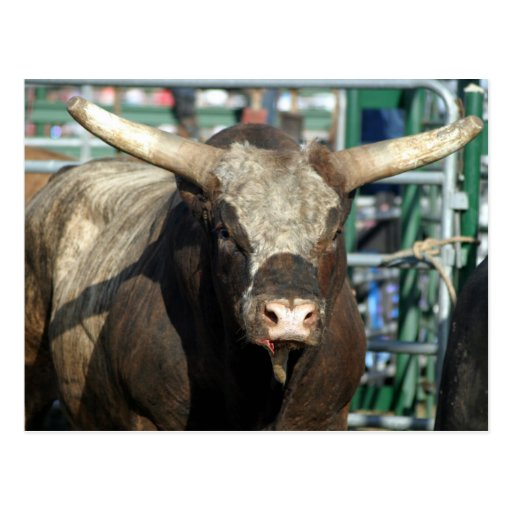 Rodeo Bull Post Cards