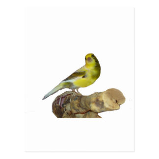 Roller canary postcard