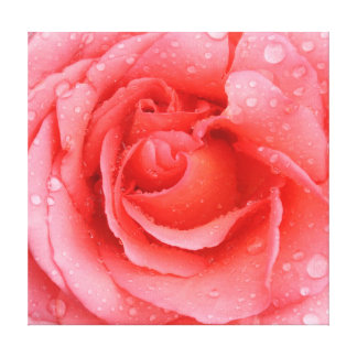 Romantic Pink Rose Water Drops Canvas Print