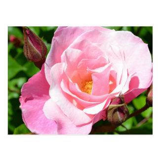 Romantic Roses Postcard