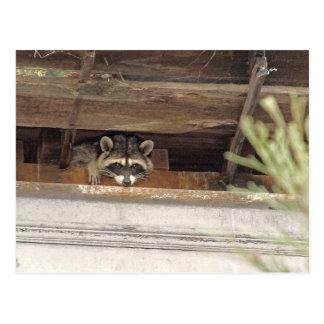 Roofie Raccoon Postcard