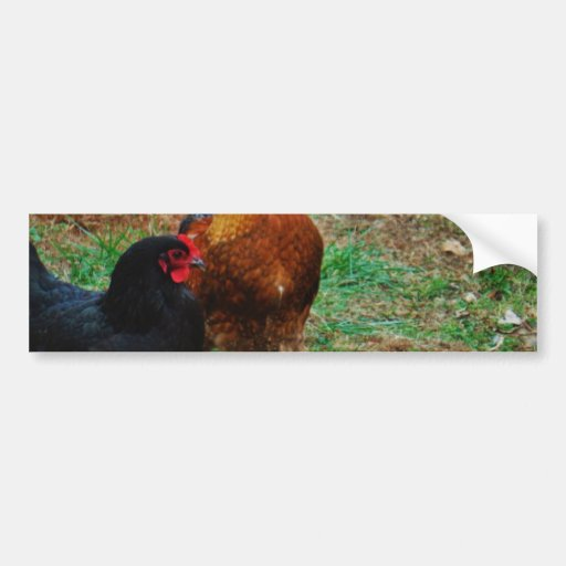 Rooster and Black Hen Bumper Sticker