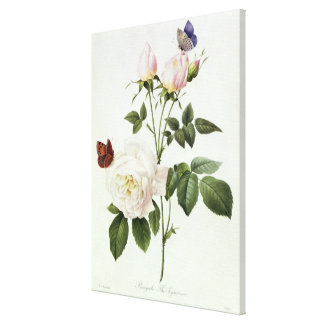 Rosa: Bengale the Hymenes Canvas Print
