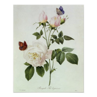 Rosa: Bengale the Hymenes, from 'Les Roses' Poster