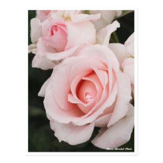 Rosa Bridal Pink Postcard
