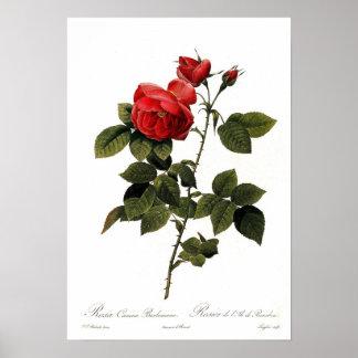 Rosa canina bourboniana poster