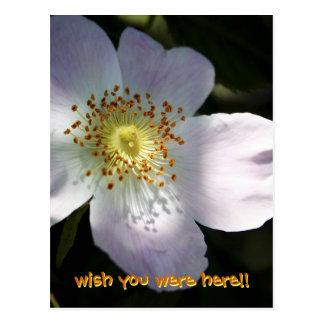 Rosa Canina - Dog Rose Postcard
