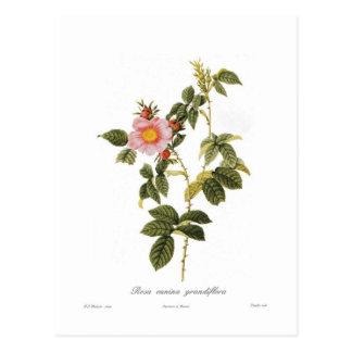 Rosa canina grandiflora postcard