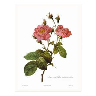 Rosa centifolia anemonoides postcard