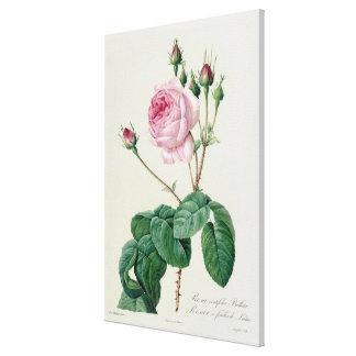 Rosa Centifolia Bullata Canvas Print