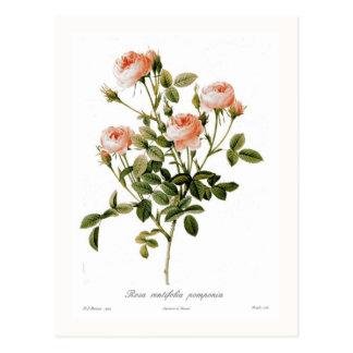 Rosa centifolia pomponia postcard
