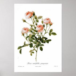 Rosa centifolia pomponia poster