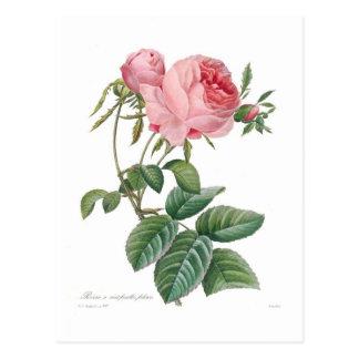 Rosa centifolia postcard