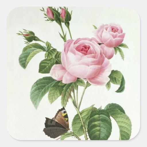 Rosa Centifolia Square Stickers