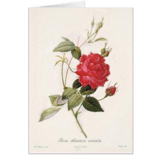 Rosa chinensis cruenta greeting card
