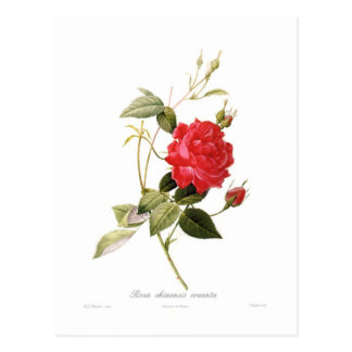 Rosa chinensis cruenta postcard
