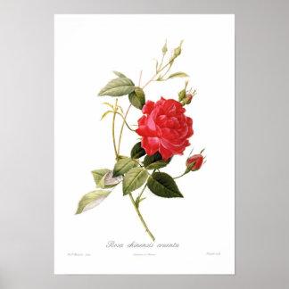 Rosa chinensis cruenta print