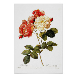 Rosa damascena celsiana poster