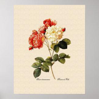 Rosa damascena celsiana print