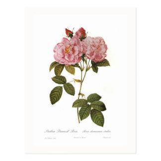 Rosa damascena italica post cards