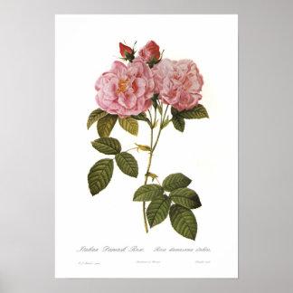 Rosa damascena italica print