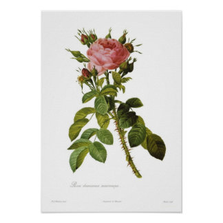 Rosa damascena macrocarpa posters