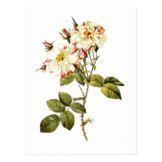 Rosa damascena variegata postcard