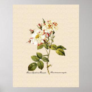 Rosa damascena variegata posters