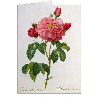 Rosa Gallica Aurelianensis Card