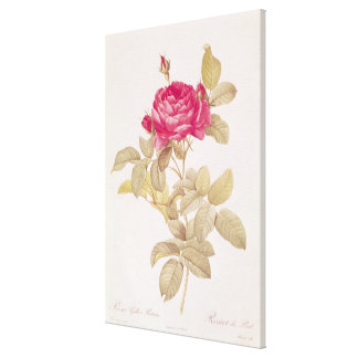 Rosa Gallica Pontiana, from 'Les Roses' Canvas Print