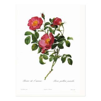 Rosa gallica pumila postcard